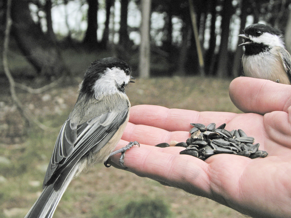 Black-capped Chickadees are curious and will feed out of your hand after a few days of acclimation.