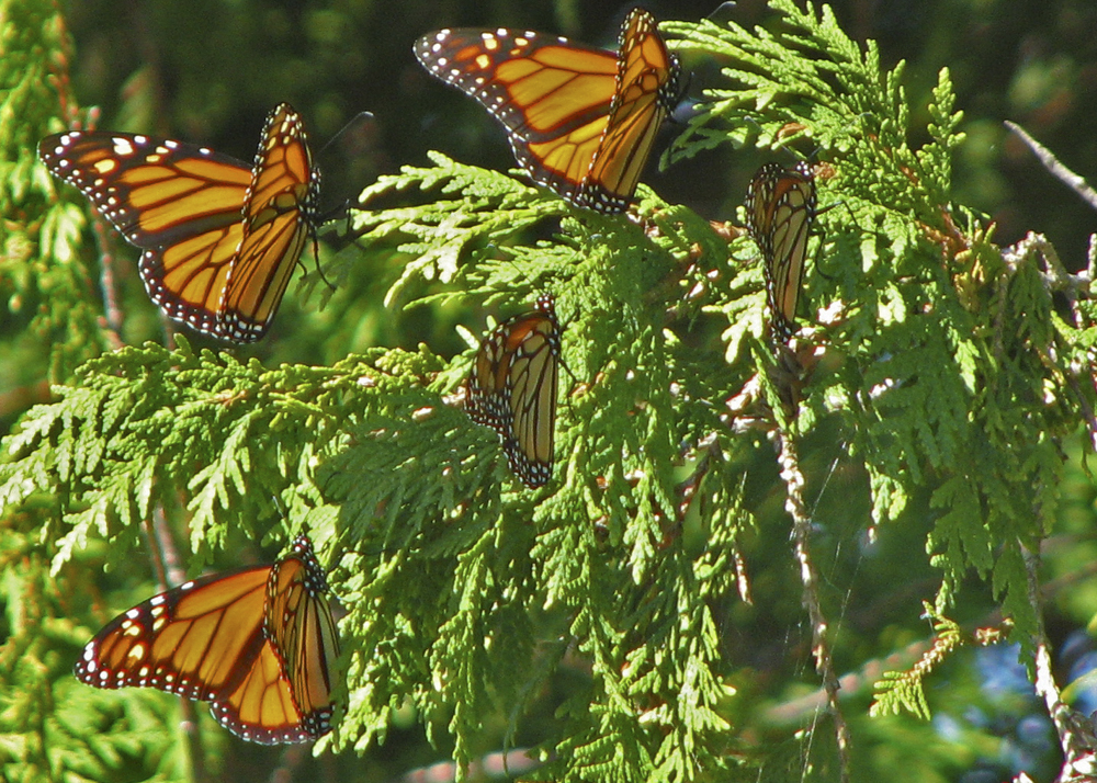 Monarch Butterflies stage on the Garden Peninsula, Delta county during fall migration.