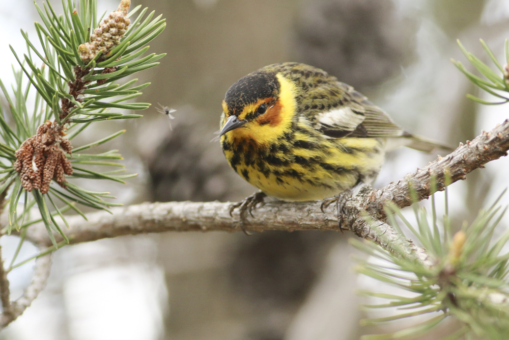 A Cape May Warbler eyes a snack