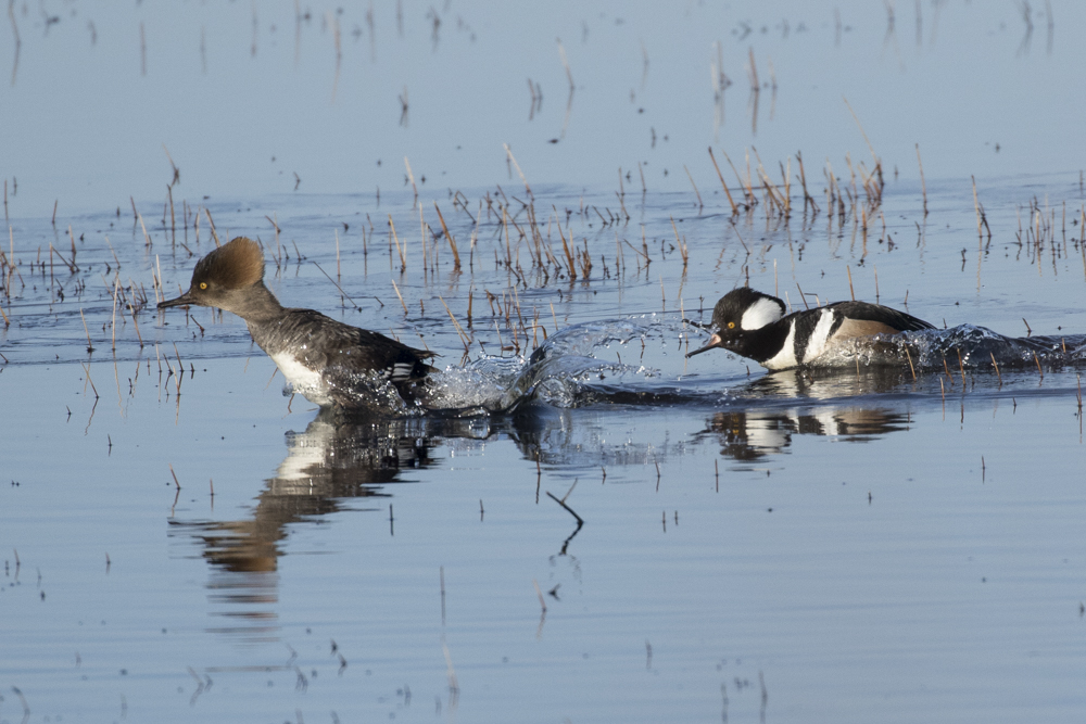 Hooded Mergansers arrive just after ice out.
