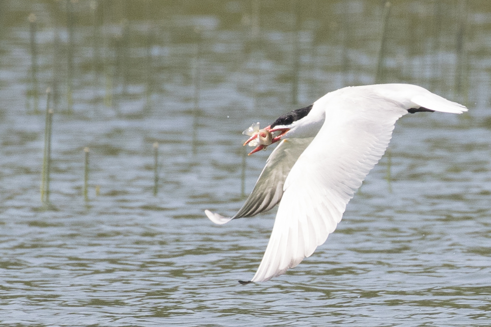 I Love Terns and Gulls. Here a Yellow Perch was caught by a Caspian Tern.