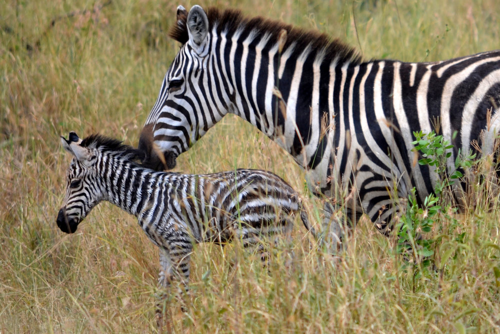 Zebra and newborn foal on Serengeti.JPG