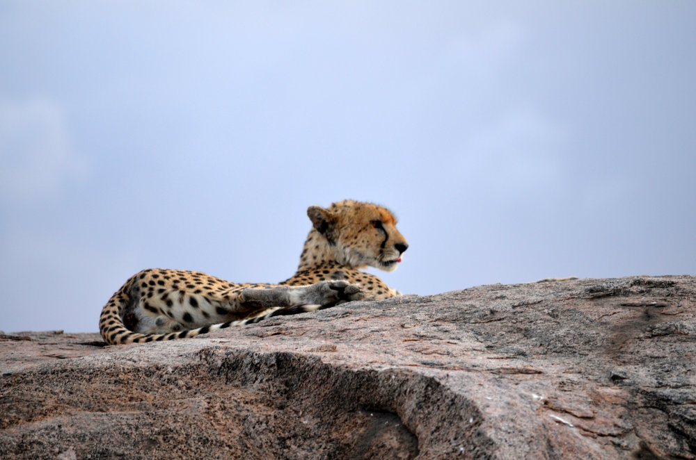 Cheetah on Serengeti (AF01)