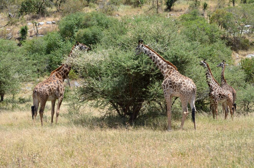 Giraffes on Serengeti (AF07)