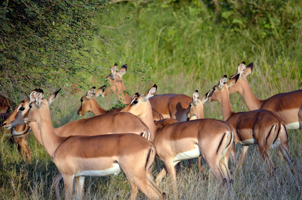 Copy of Impala in South Africa (AF011)