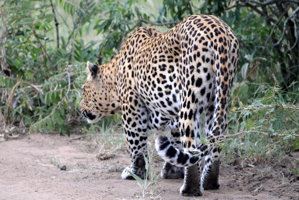 Leopard hunting (AF018)