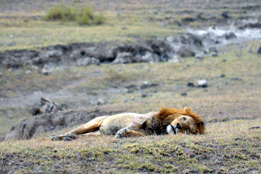 Lion in the Ngorongoro Crater (AF022)