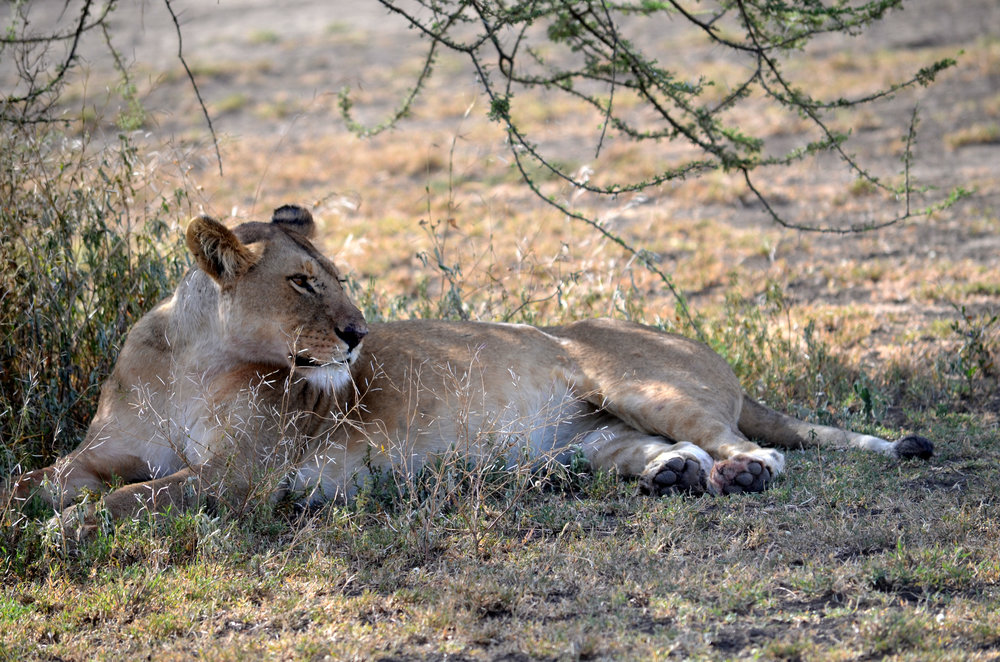 Lion on the Serengeti (AF23)