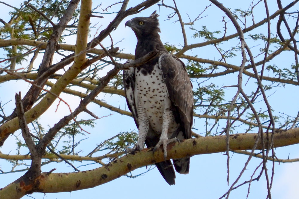 Martial eagle on Serengeti (AF027)