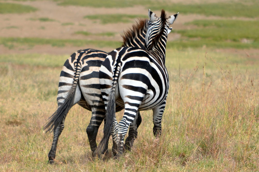 Zebra pair on the Serengeti (AF019)