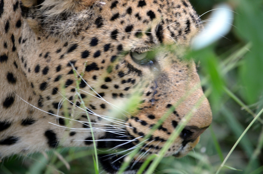 Chui - Swahili for leopard.JPG