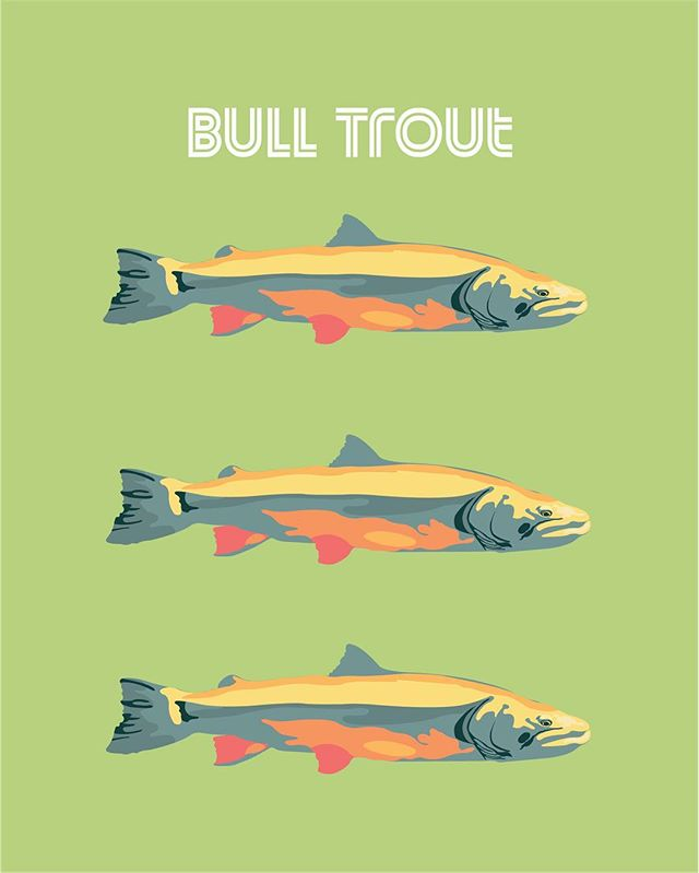 Today we highlight: Bull Trout (Salvelinus confluentus) 🐟🐟🐟 Bull Trout are a part of the Salmon family known as Char and like salmon, share some of the same threats to their populations including habitat degradation and disruption with structures like dams. 🐟🐟🐟 Be sure to follow along with our endangered species prompt list all of May and tag us in your illustrations to be featured! • • • • #illresearch #illustratedscience #environment #climatechange #history #zine #sciartist #webcomic #scicomm #scienceillustration #marinebiology #sciart #molecularbiology #cellularbiology #wildlifeconservation #naturalhistory #herpetology #herpetologist #amphibians #climatescience #sealevelrise #scientificillustration #entomology
