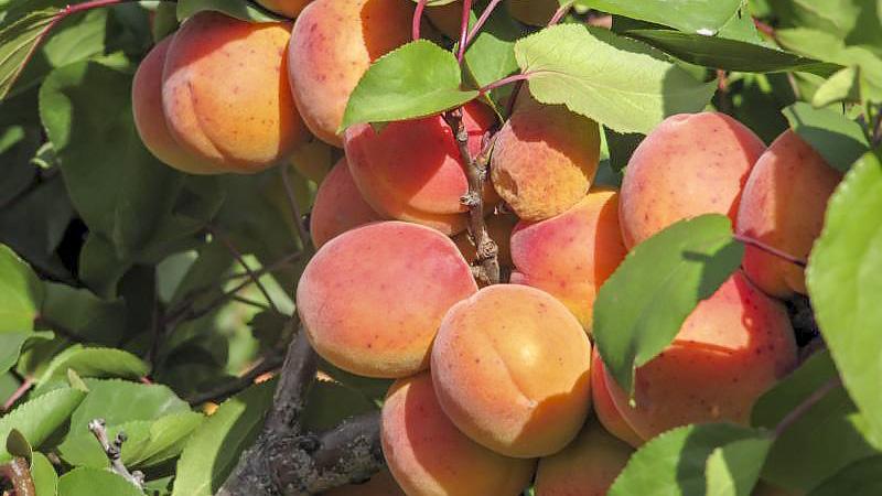 Köstliche, erntefrische Aprikosen Ende Juli bis Anfang August