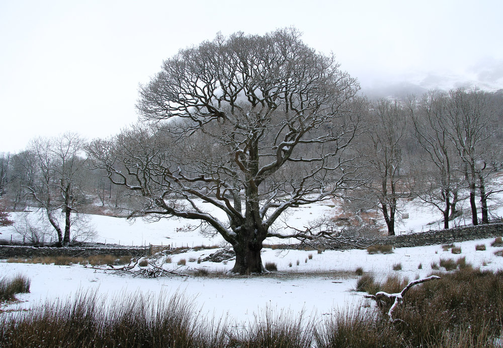 Snow Tree at Rydal Water