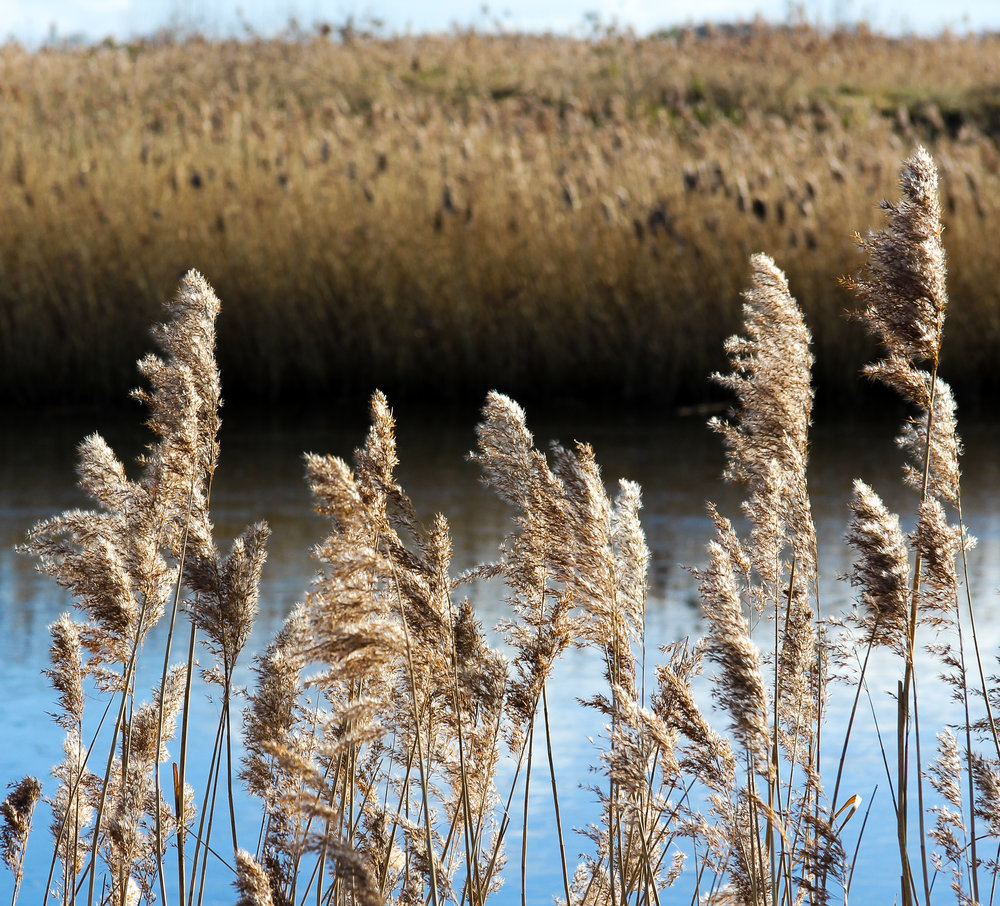 Reeds at St.Aidans Nature Reserve