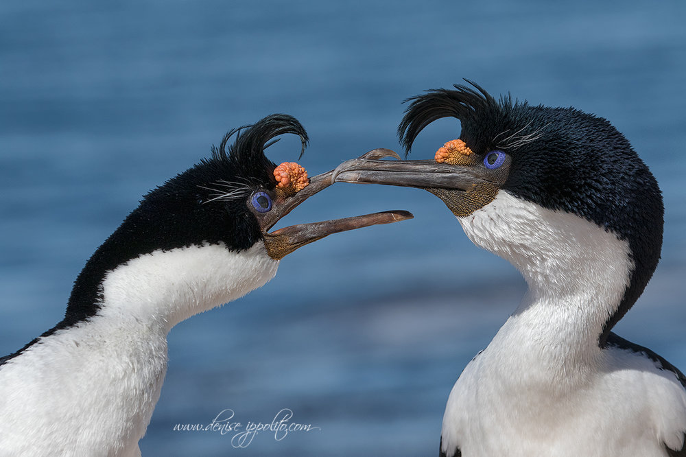 _D2A1912Bleaker-Island,-Falklands.jpg