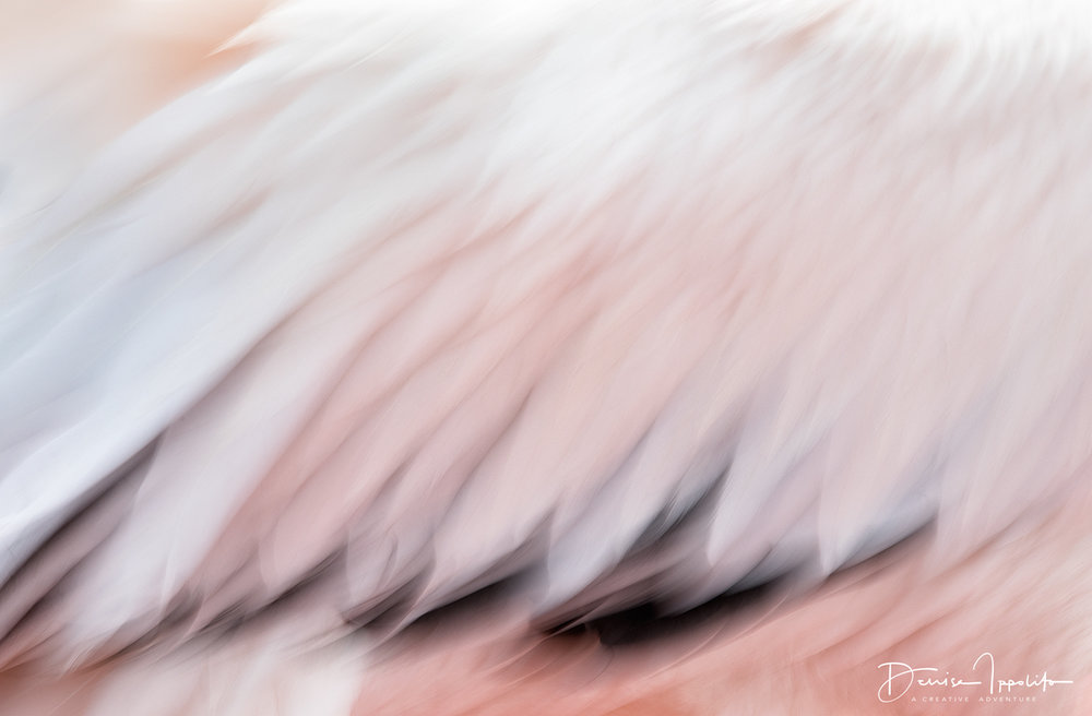 Great White Pelican blur, using a slow shutter speed of 1/6sec. I panned my camera slightly.