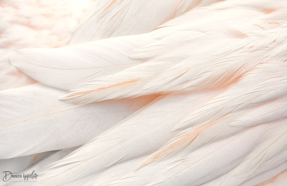 Great White Pelican Feathers