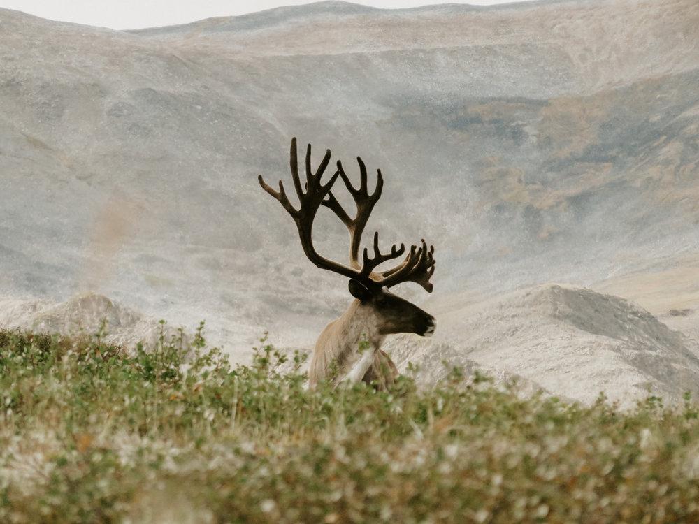 Caribou (2).jpg