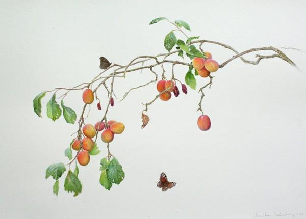 Jonathan Sainsbury watercolour plums and peacock butterflies, series 'British trees and wildlife', Society of Animal Artists, 'Art and the Animal' Annual Exhibition, Houston Museum of Natural Sciences