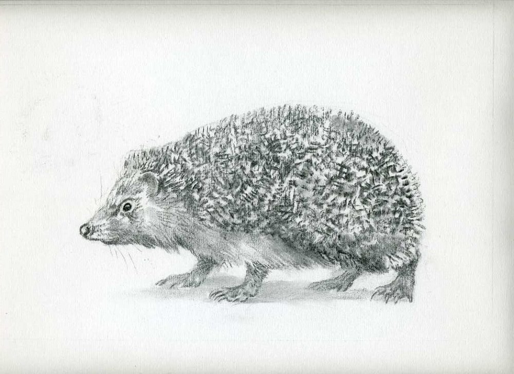 Hedgehog - charcoal - limited edition giclee