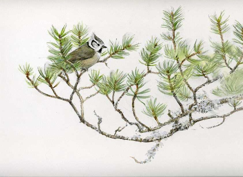 Crested tit, watercolour & charcoal, Jonathan Sainsbury