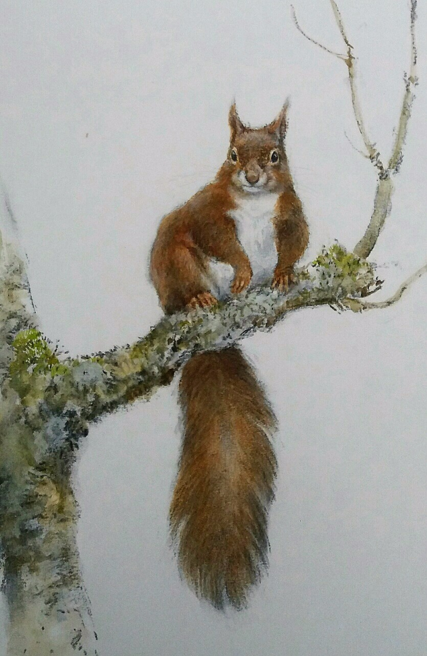 Jonathan Sainsbury, red squirrel, watercolour and charcoal