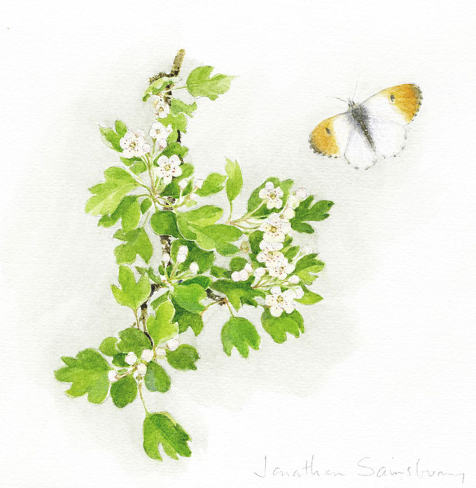 8. Hawthorn and Orange Tip Butterfly  Watercolour  7 x 7 inches  £450.jpg