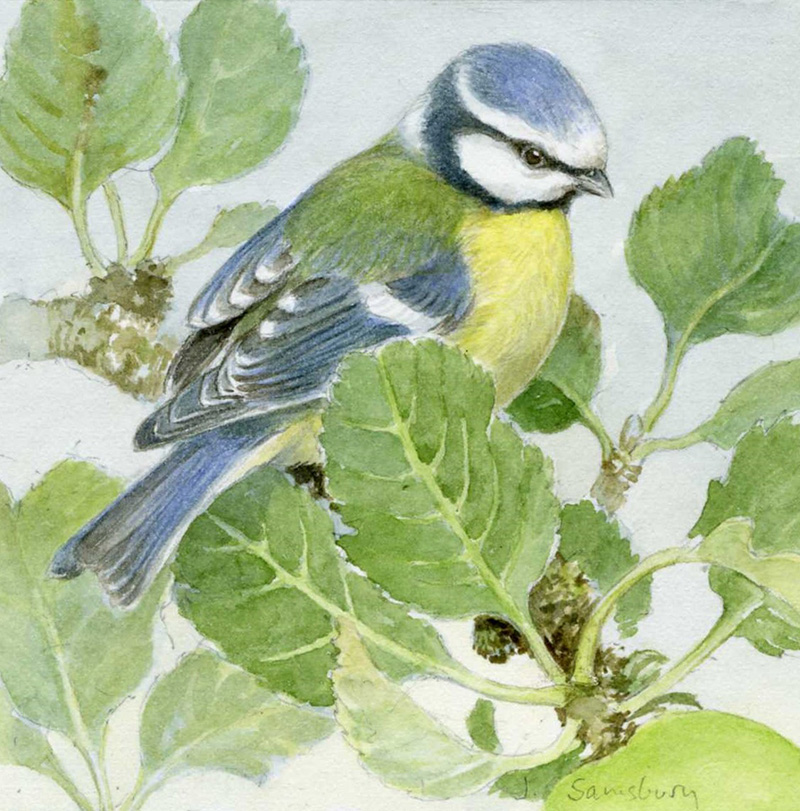 38. Blue Tit and Apple leaves  Watercolour  4 x 4 inches  £325 .jpg