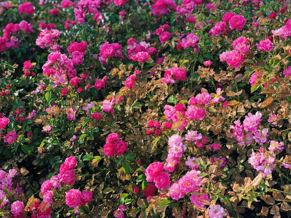 9c567-prettypinkgardenroses-bfloralprettypinkgardenroses-bfloral.jpg