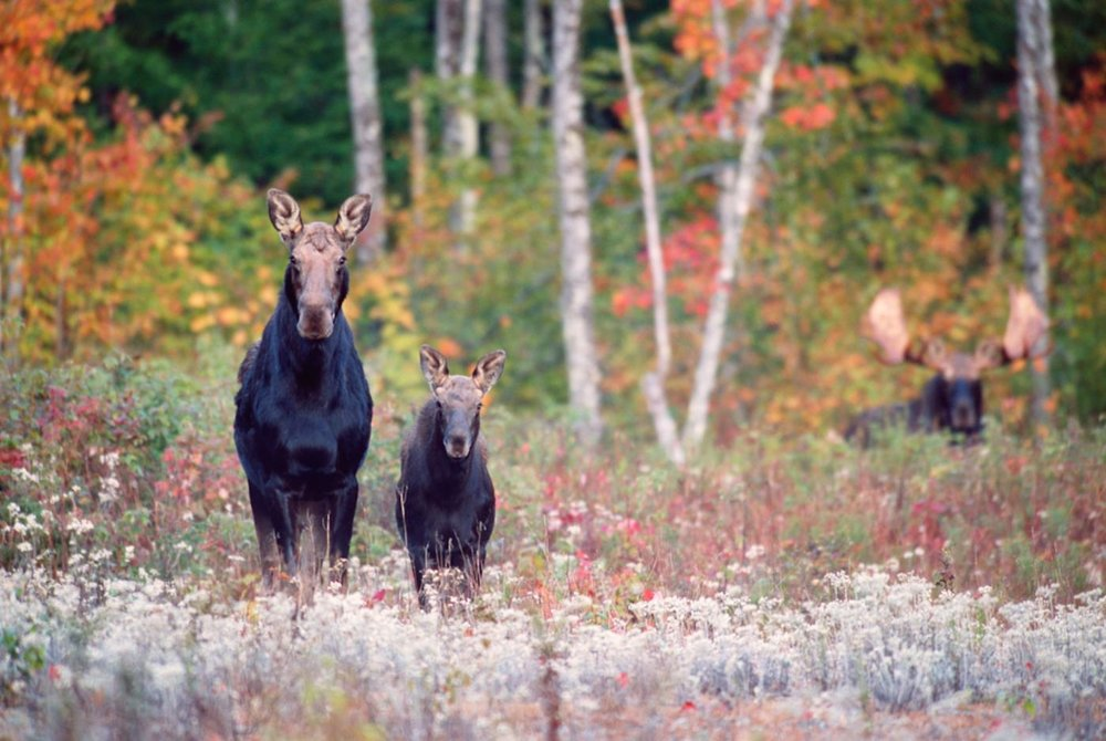 Moose Family in Fall by  Roger Irwin