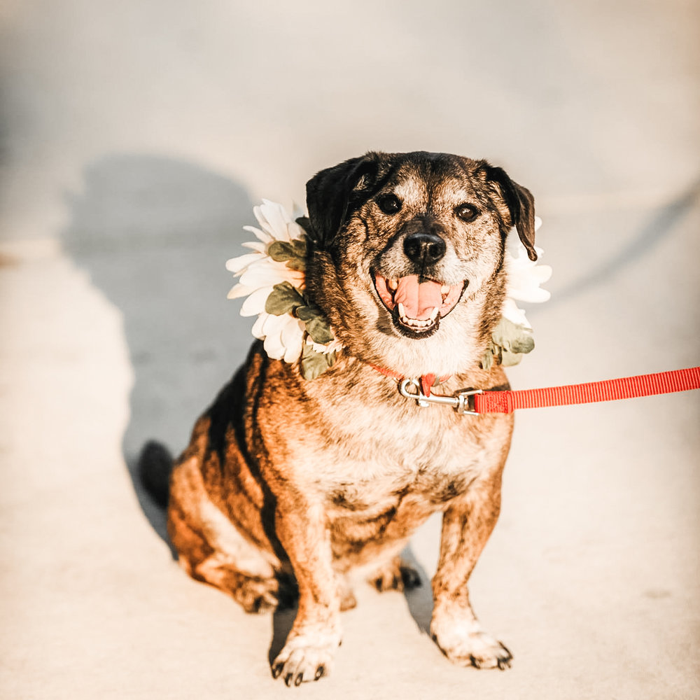 Milo, our doggo of 10 years, was best boy and ring bearer at our wedding. Look at that smile!
