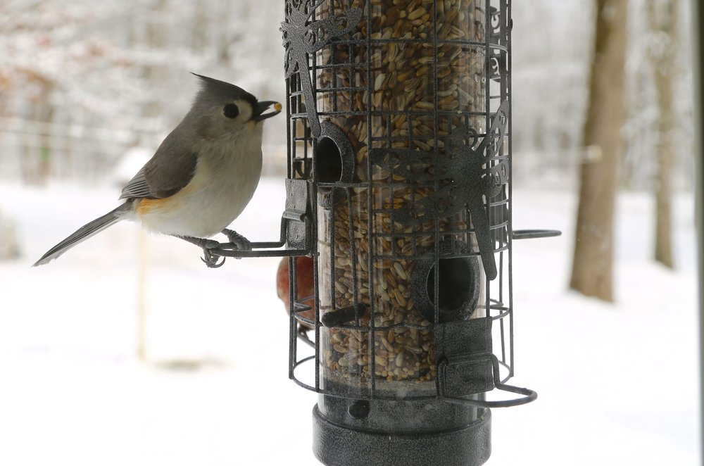 Tufted titmouse photo by Laurie Cleveland