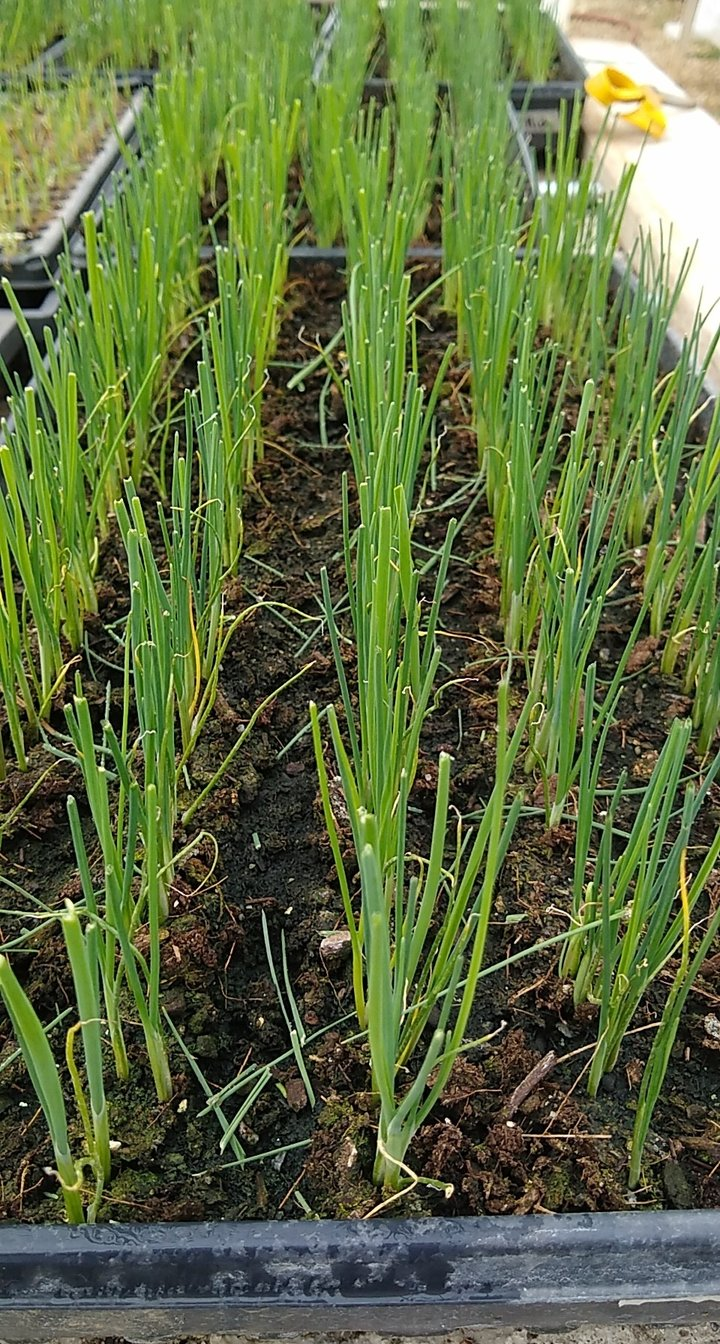 Leeks in the greenhouse, recently trimmed and looking smart!