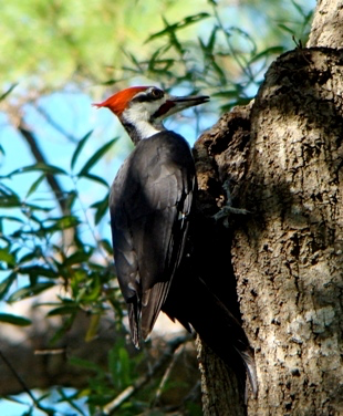 Pileated Woodpecker - One of six woodpecker species in the park