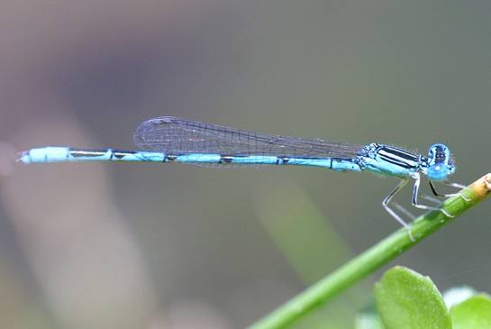 Double Striped Bluet