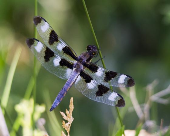 Twelve Spotted Skimmer