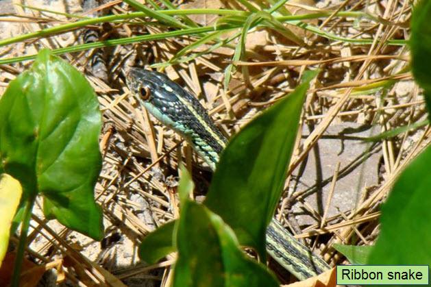 Ribbon snake.jpg