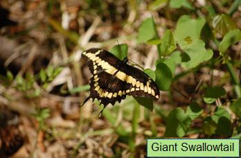 Giant Swallowtail.jpg