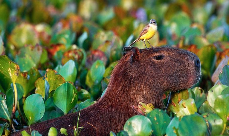 bird-capybara-head.jpg.838x0_q80