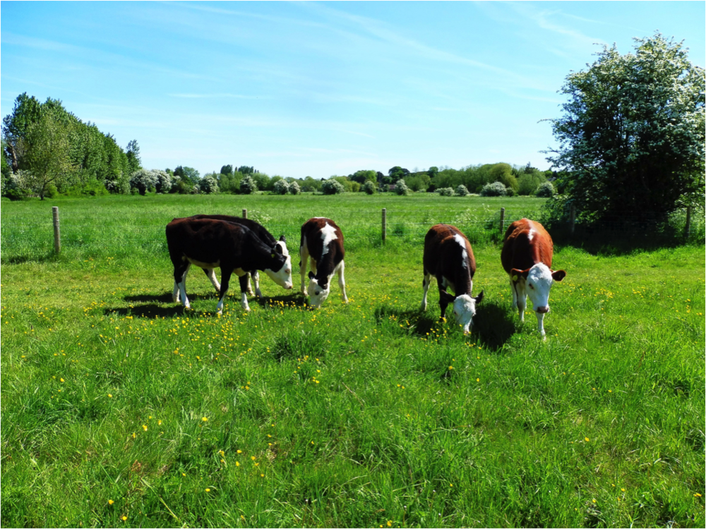 Cattle-on-meadow.png