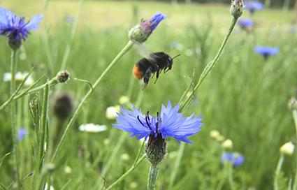 bee_world_farnham_bumblebee.jpg