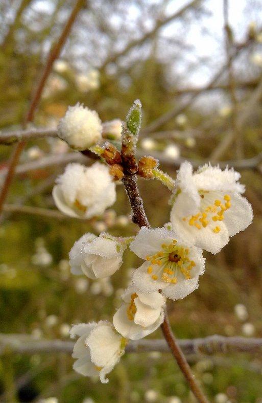 Frost-on-Flowers.jpg