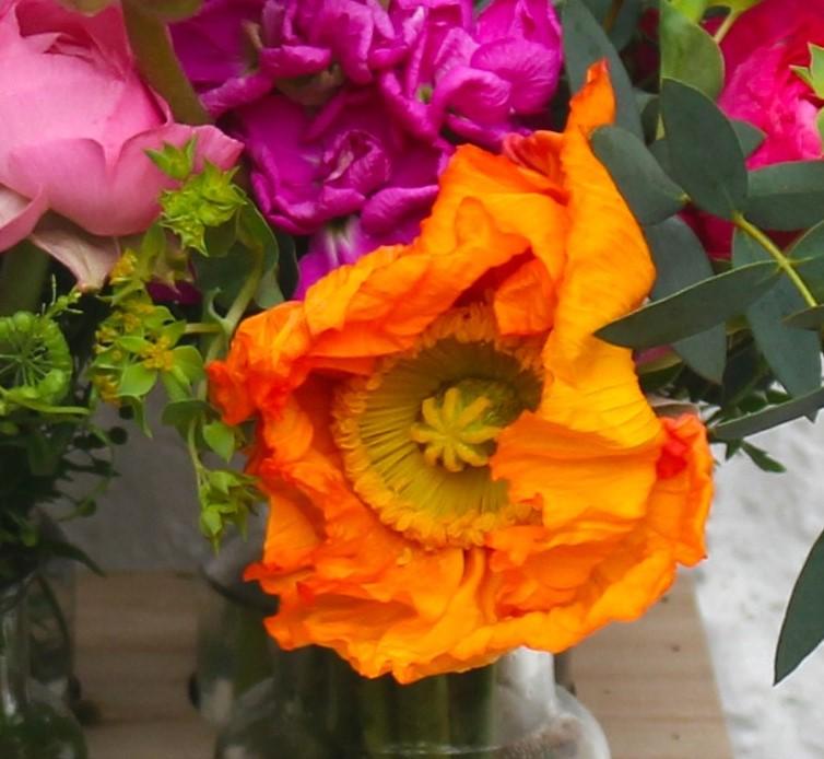 The Icelandic poppy bud gradually unfurls before revealing its full glory.
