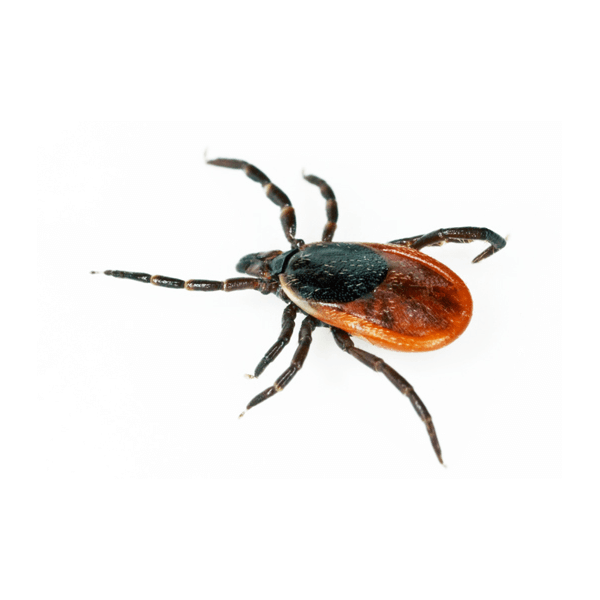 Blacklegged Tick   Blacklegged ticks, also known as deer ticks, take 2 full years to complete their life cycle. They rely greatly on their host, typically white-tailed deer. They also carry lyme disease.