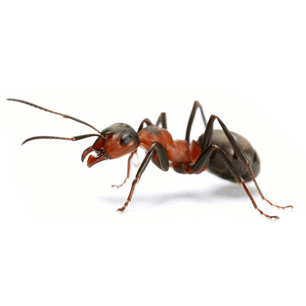 Carpenter Ants   Carpenter Ants get their name from their nest building, typically in wood. They can be found in walls, and woodpiles. Since they nest in the winter, they are most common from May to August.