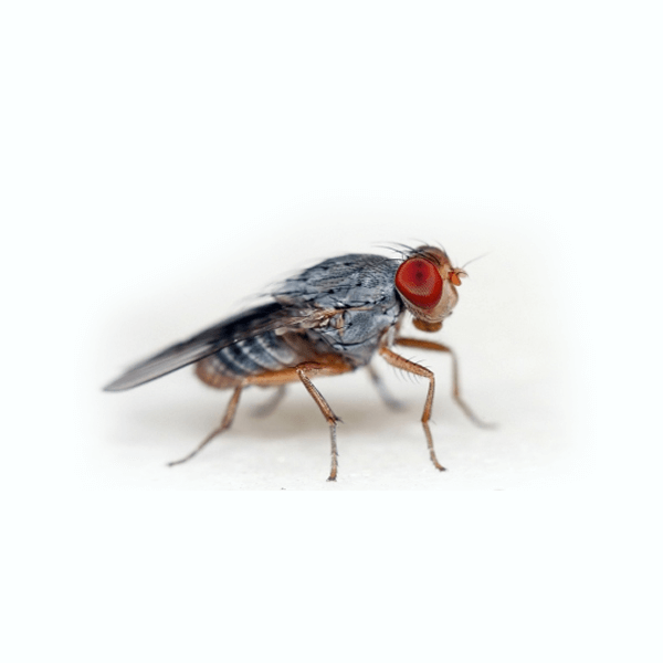 Fruit Flies   We've all had fruit flies. Whether we've left out a rotting banana or our garbage too long, they're bound to appear. Unfortunately they're hard to get rid of. Let us help.