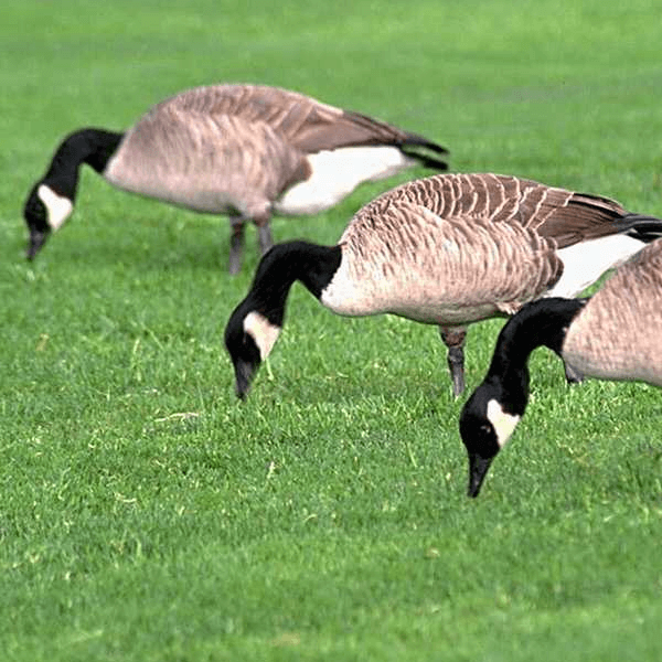 Geese Removal   Long Island Exterminating Co. practices human animal control and removal from property.