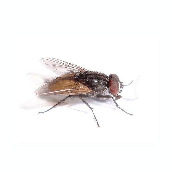 House Fly   House flies are not only nuisance pests while buzzing around homes, but they are potential disease carriers.