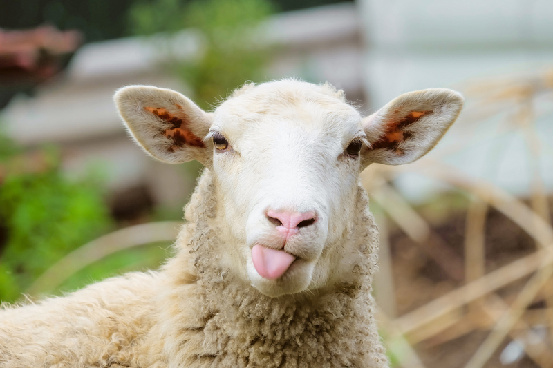 """""""Sheep's milk makes the best cheese. It's lip-smacking good."""""""